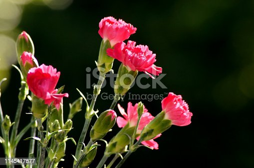 Red cloves Dianthus in sunlight
