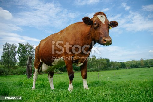 Red coat cow in a summer meadow