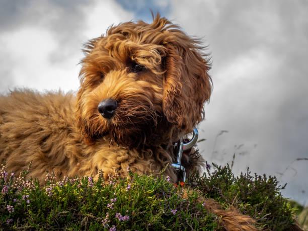 Filhote de cachorro de Cockapoo vermelho - foto de acervo