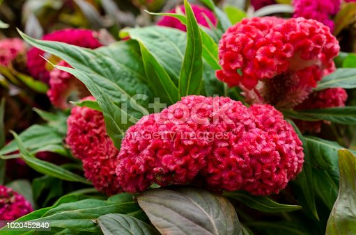 Red Cockscomb flower or Crested celosia flower and green leaf closeup