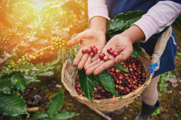 Rote Kaffeebohnen in Bauernhand – Foto