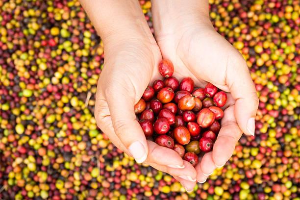 red Kaffeebohnen in Händen – Foto