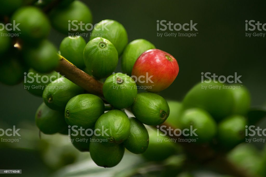 Red Coffee Cherries On Coffee Plant stock photo