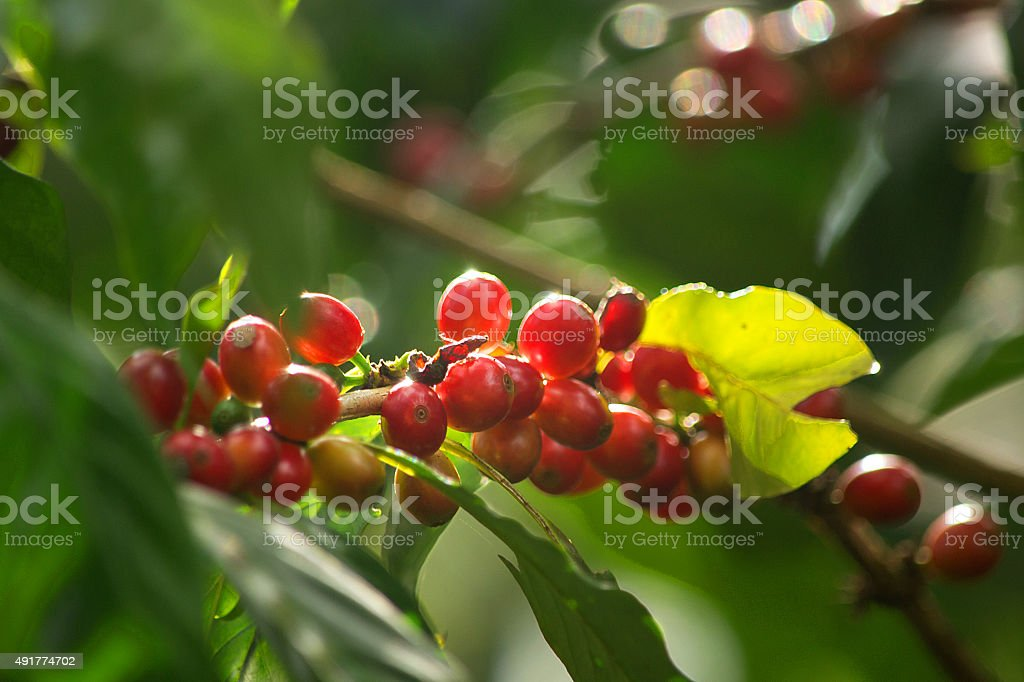 Red Coffee Cherries On Coffee Plant stock photo