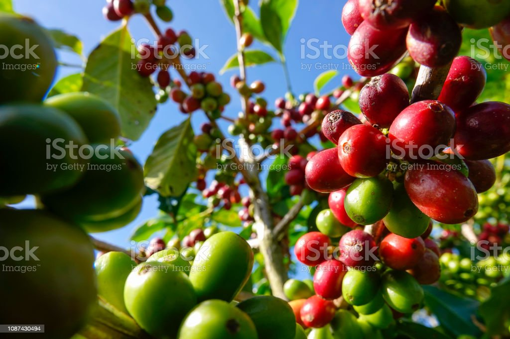 Red coffee seeds on tree branch. stock photo
