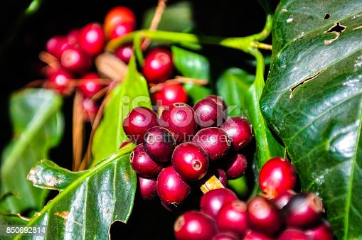 istock Red coffee seeds on tree branch 850692814
