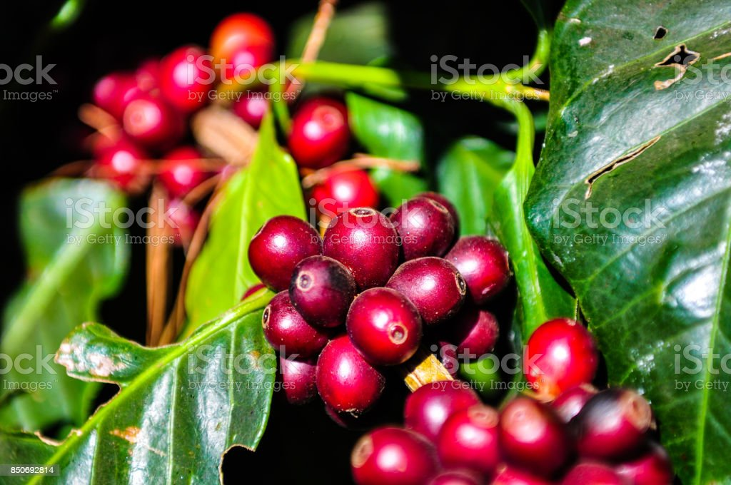 Red coffee seeds on tree branch stock photo