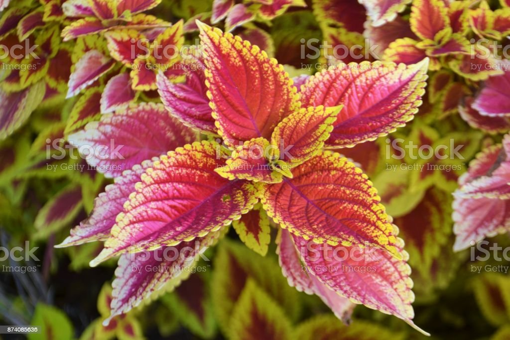 Red Coleus plants close up, background stock photo