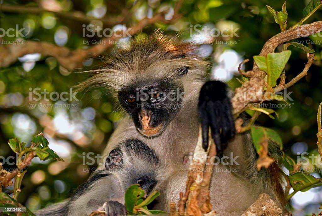 Red colobus, Jozani - Chwaka National Park, Zanzibar, Tanzania royalty-free stock photo