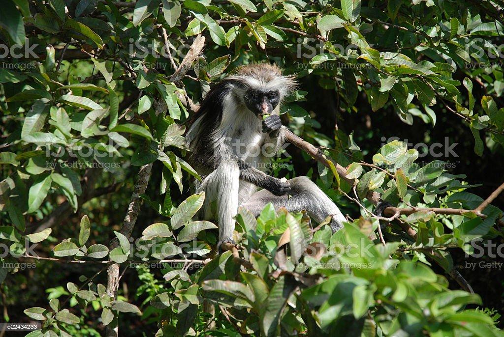 Red Colobus Monkey Eating stock photo
