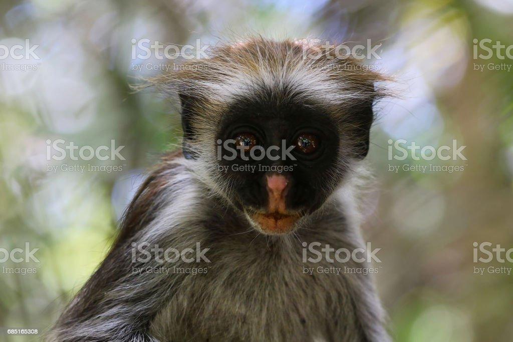 Red colobus monkey in Zanzibar Tanzania royalty-free stock photo