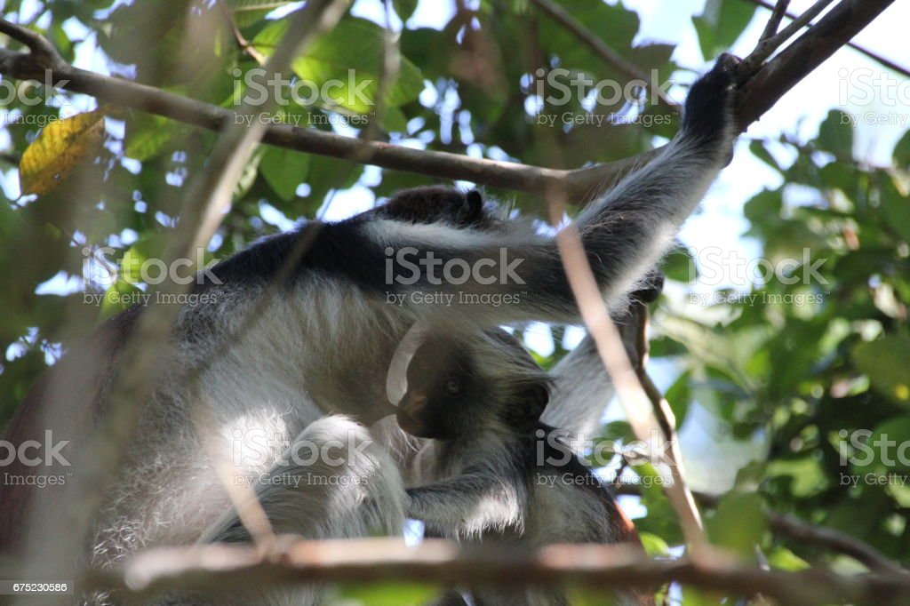 Red Colobus Monkey, Jozani Chwaka Bay National Park, Zanzibar, Tanzania, Indian Ocean, Africa royalty-free stock photo