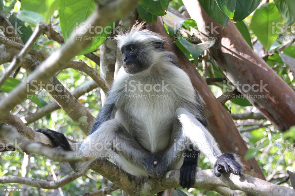 Red Colobus Monkey, Jozani Chwaka Bay National Park, Zanzibar, Tanzania, Indian Ocean, Africa royalty-free stock photo