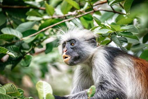 Close up of red colobus monkey in the trees of Zanzibar rain forest
