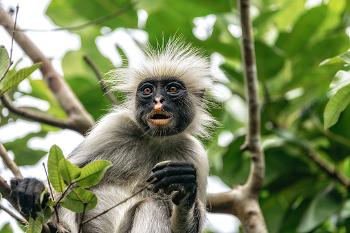Close up of red colobus monkey in the trees