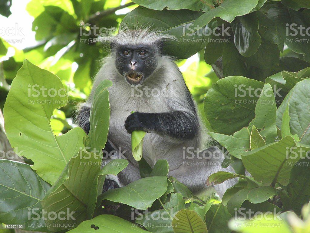 Red colobus monkey stock photo