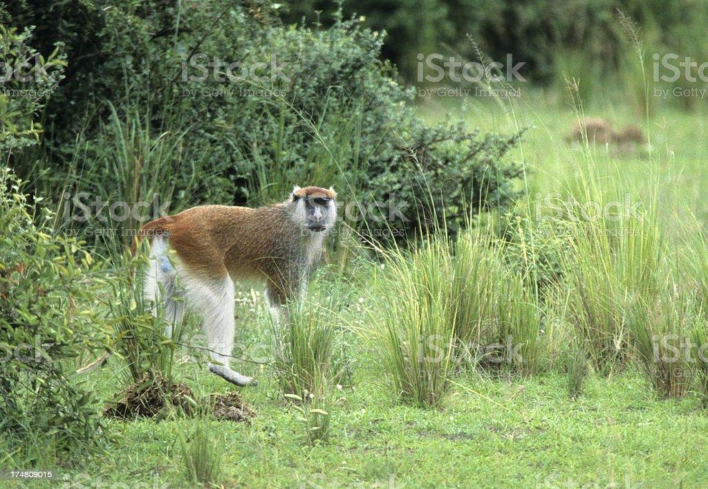 Red colobus monkey Uganda copy space stock photo
