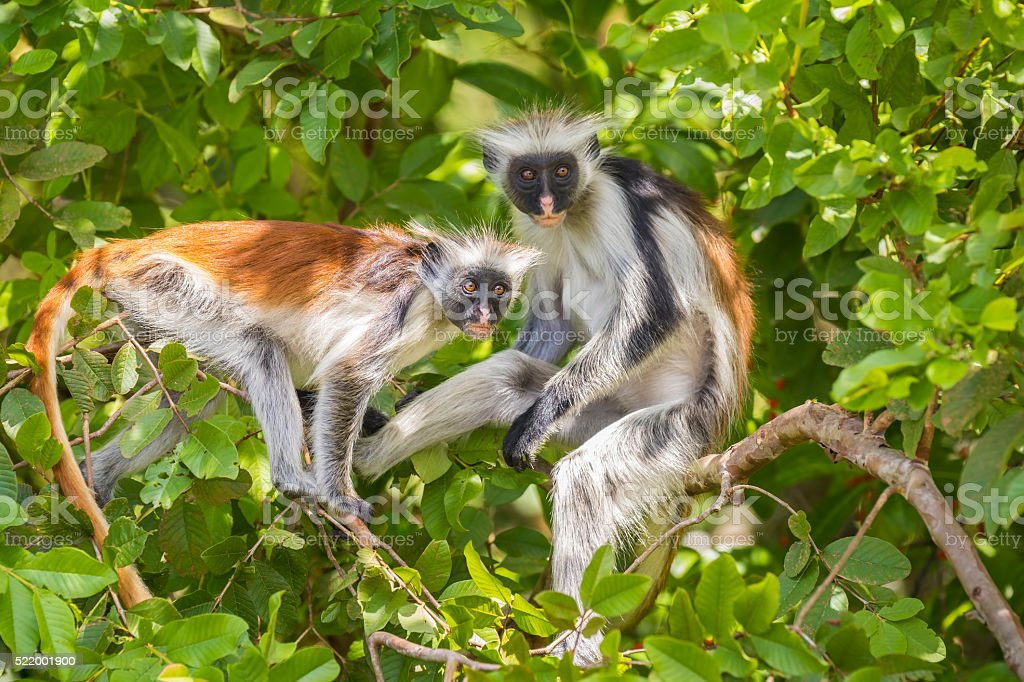 Red Colobuse Monkey stock photo
