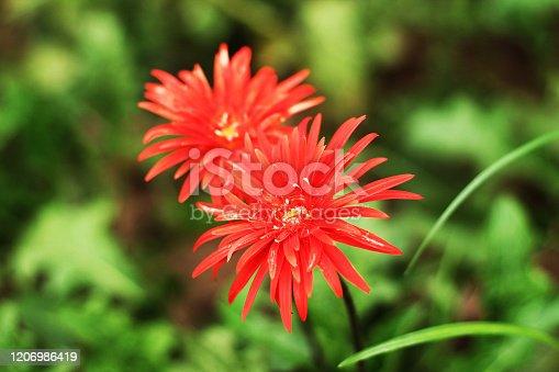 red color dalia flower in a garden