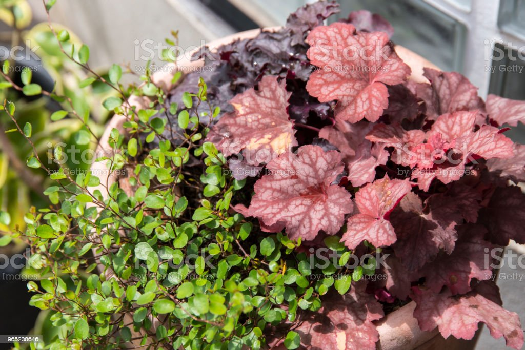 Red color Heuchera and Wire Vine (Muehlenbeckia axillaris) royalty-free stock photo
