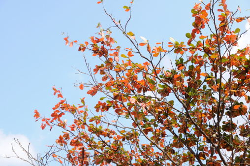 Red color leaves with blue sky