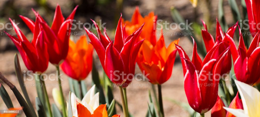 Red color tulip flowers in the garden stock photo