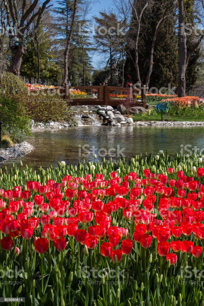 Red color Tulips Bloom in Spring stock photo