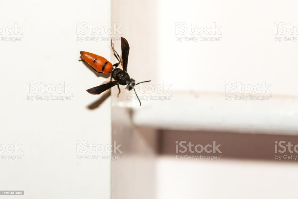 Red Colored Wasp Sitting On A White Window Frame Stock Photo & More ...