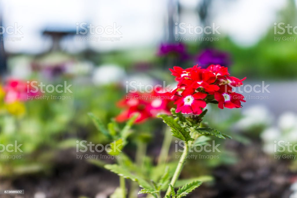 Red colorful verbena flowers in garden during summer in Ile D'Orleans, Quebec, Canada stock photo