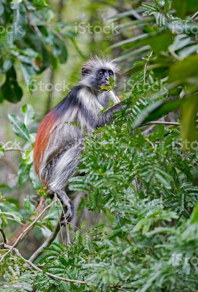 Red colubus monkey in Jozani Forest, Zanzibar, Tanzania stock photo
