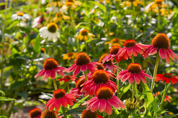 red coneflowers (Echinacea) with blurry multicolored coneflowers in the background
