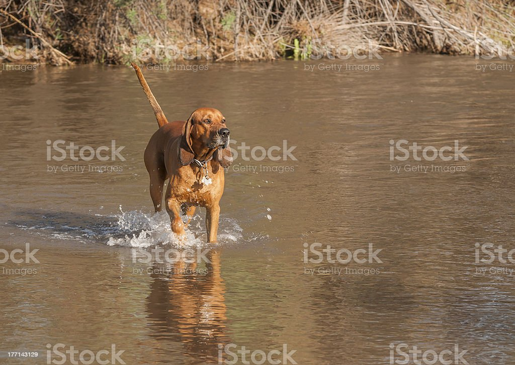Red Coon Hound Dog in river stock photo