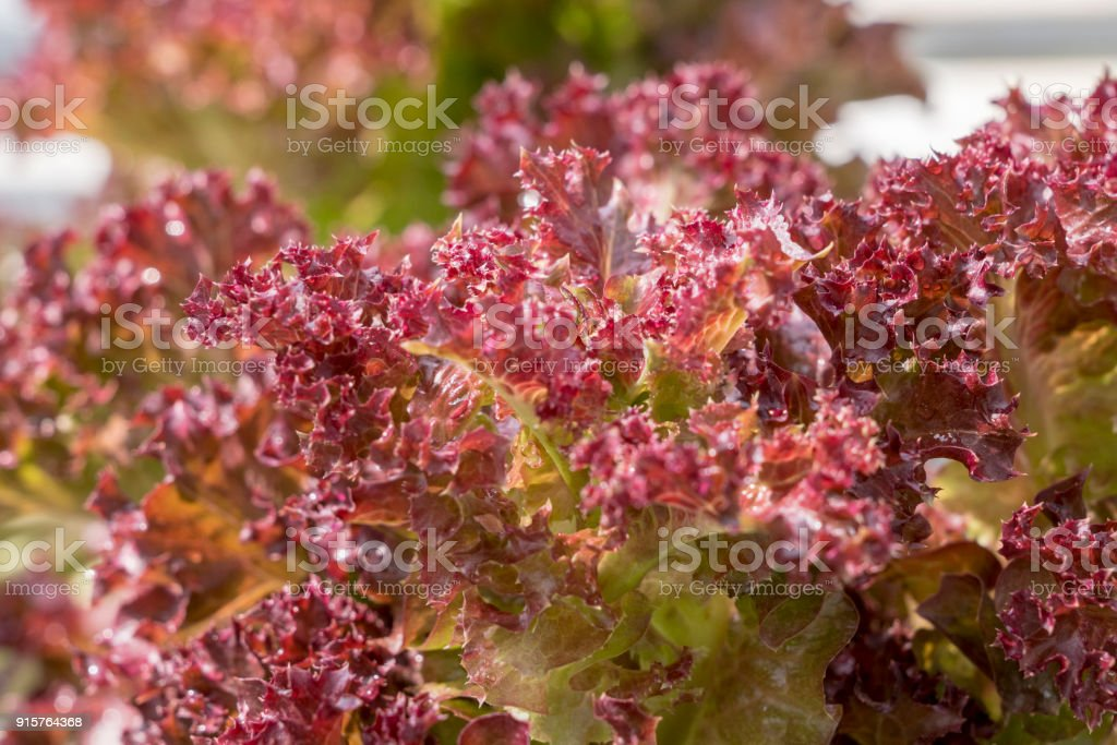 Red coral oak salad lettuce farm .Organic food ,agriculture and hydroponic conccept. stock photo