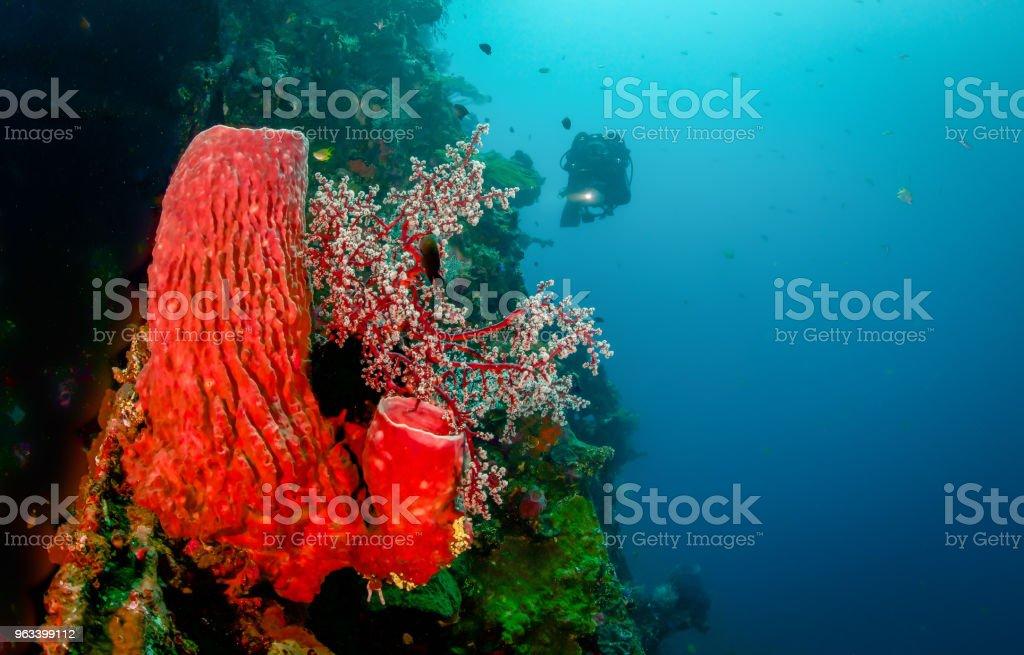 Red Coral Sponge - Zbiór zdjęć royalty-free (Czerwony)