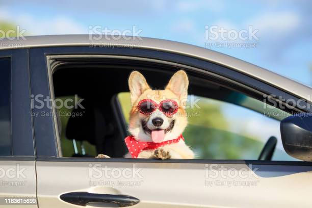 Red corgi puppy dog in sunglasses he stuck his pretty face out with picture id1163615699?b=1&k=6&m=1163615699&s=612x612&h=on l2xd qsxpfzzihchxg jpvd vvfym jvwdttxmka=