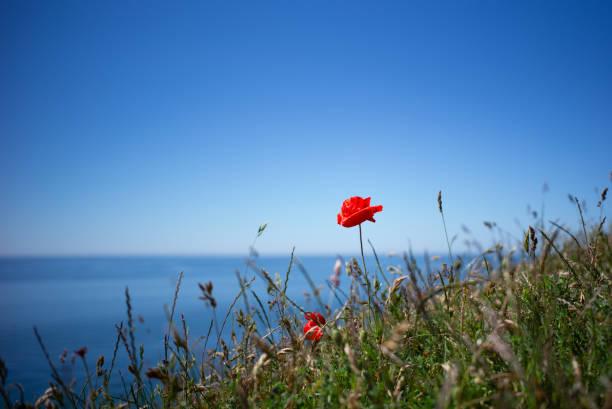 röd corn vallmo och havet - skåne bildbanksfoton och bilder