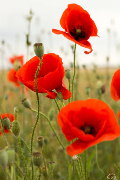 royalty free corn poppy pictures images and stock photos istock