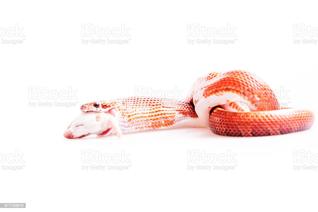 Red corn snake eating mouse isolated white background stock photo