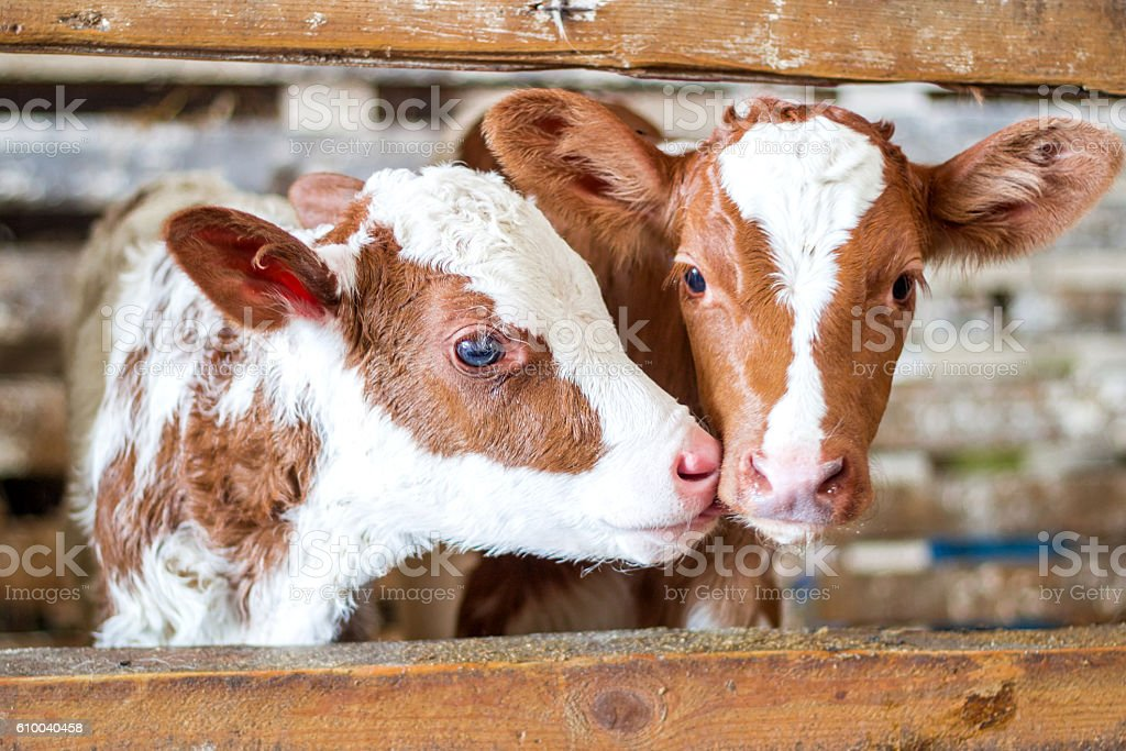 Red cow calf stand at stall at farm stock photo