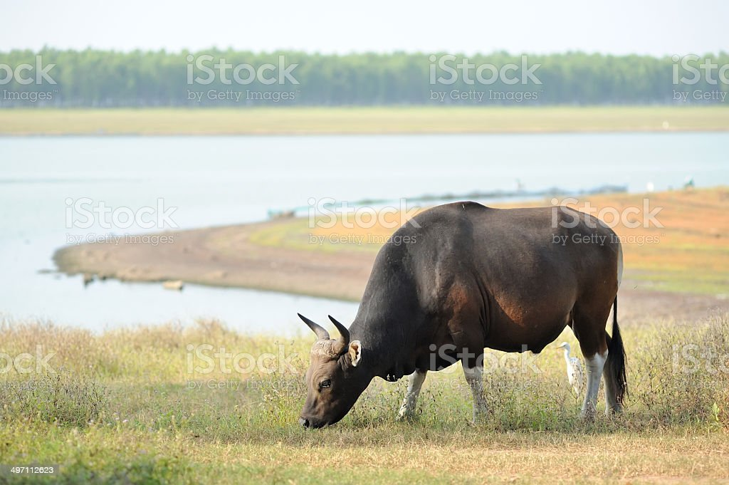 Red cow grazing living in the rainforests of Thailand. royalty-free stock photo