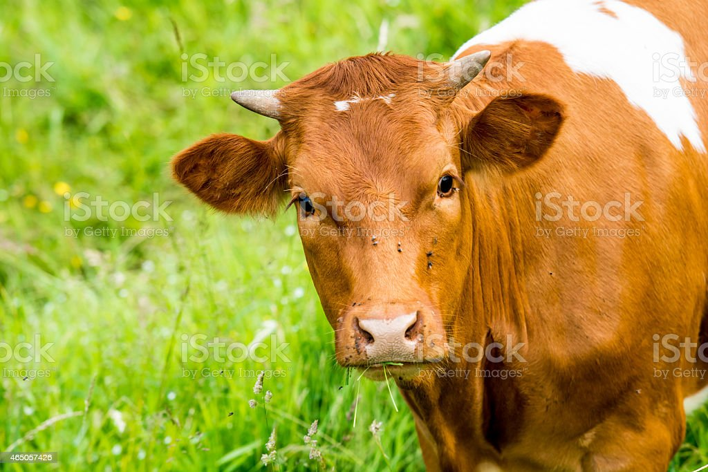 red cow in a green pasture on cattle farm stock photo