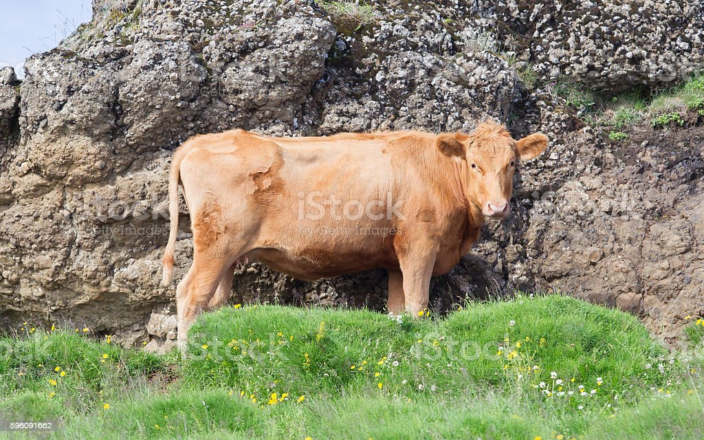 Red cow in Iceland royalty-free stock photo