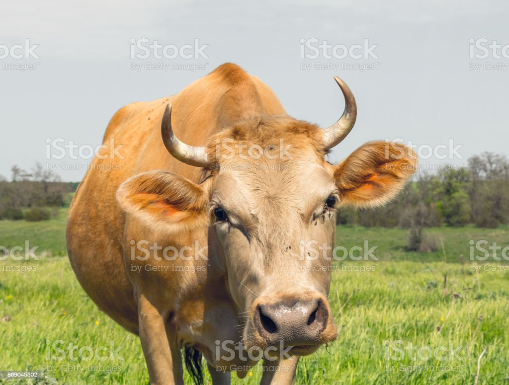 Red cow on a green rustic spring meadow stock photo