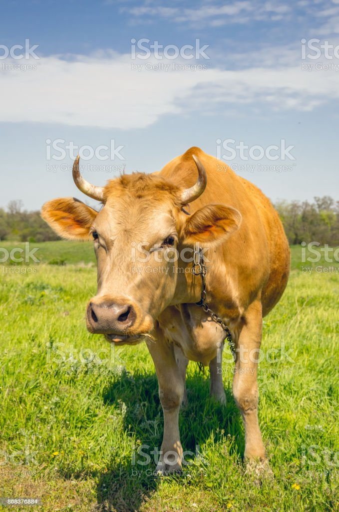 Red cow on a green sunny meadow. European country life stock photo
