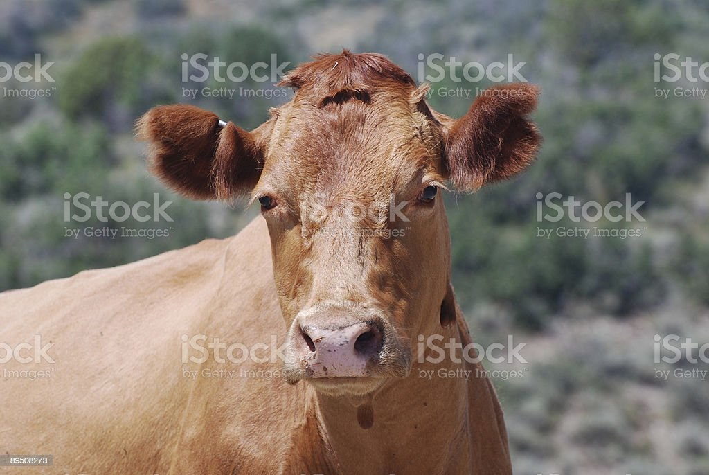 Red Cow royalty-free stock photo