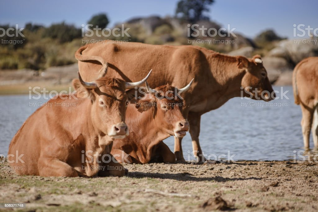 Red cow resting stock photo