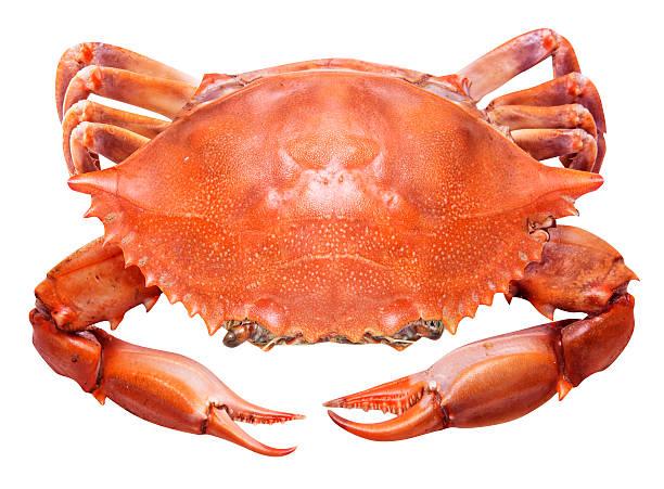 crabe rouge isolé sur fond blanc - crabe photos et images de collection