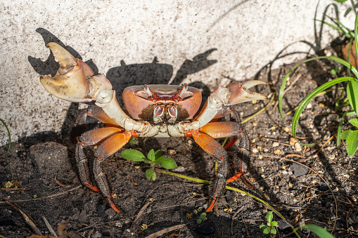 Red crab on the beach near the mangrove forest, island of Zanzibar, Tanzania, East Africa. Close up