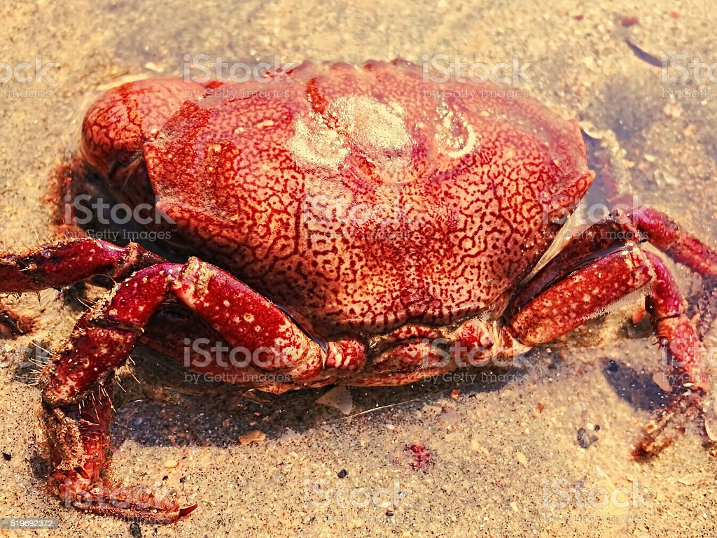 Red crab on the sand beach by the sea stock photo