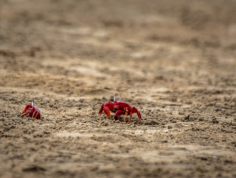 Red Crabs covered with sand at Mandarmani Beach. Selective Focus is used.